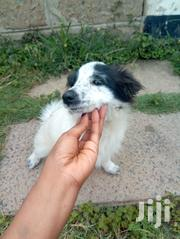 Young Female Mixed Breed Japanese Spitz | Dogs & Puppies for sale in Nairobi, Harambee