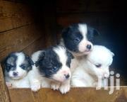 Baby Male Mixed Breed Japanese Spitz | Dogs & Puppies for sale in Nairobi, Woodley/Kenyatta Golf Course