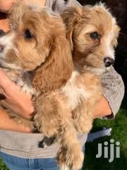 Young Female Purebred Cavalier King Charles Spaniel | Dogs & Puppies for sale in Nairobi, Nairobi Central