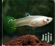 Female Guppies | Fish for sale in Nairobi, Nairobi Central