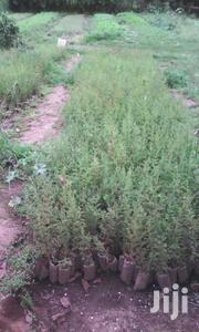 Cypress Tree Seedlings | Feeds, Supplements & Seeds for sale in Nakuru, Keringet