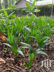 African Breed Coconut Seedlings | Feeds, Supplements & Seeds for sale in Kilifi, Tezo