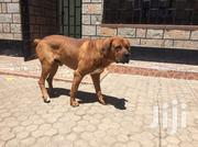 Adult Male Purebred Boerboel | Dogs & Puppies for sale in Kajiado, Kitengela