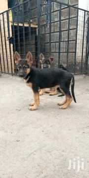 Young Male Purebred German Shepherd Dog | Dogs & Puppies for sale in Nakuru, Bahati