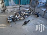 Goose For Sale | Livestock & Poultry for sale in Nakuru, Gilgil