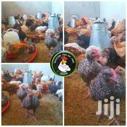 Rainbow Roosters And Kuroiler Chicks | Livestock & Poultry for sale in Kisumu, West Kisumu