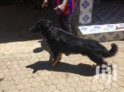 Senior Male Purebred German Shepherd Dog | Dogs & Puppies for sale in Kajiado, Kitengela