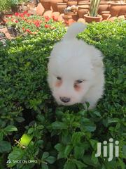 Young Male Purebred Maltese   Dogs & Puppies for sale in Nairobi, Parklands/Highridge