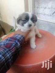Young Female Mixed Breed Cairn Terrier   Dogs & Puppies for sale in Nairobi, Nairobi South