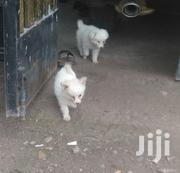 Baby Male Purebred Japanese Spitz | Dogs & Puppies for sale in Kajiado, Ongata Rongai