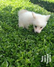 Baby Female Purebred Japanese Spitz | Dogs & Puppies for sale in Kajiado, Kitengela