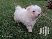 Baby Female Purebred Maltese | Dogs & Puppies for sale in Kajiado, Kitengela