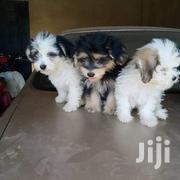 Baby Male Purebred Havanese | Dogs & Puppies for sale in Kajiado, Kitengela