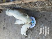 Young Male Purebred Japanese Spitz | Dogs & Puppies for sale in Mombasa, Changamwe