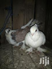 Quality And Fully Vaccinated. | Birds for sale in Mombasa, Changamwe