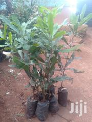 Grafted Macadamia | Feeds, Supplements & Seeds for sale in Kiambu, Ruiru