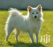 Senior Male Purebred Japanese Spitz | Dogs & Puppies for sale in Nairobi, Roysambu