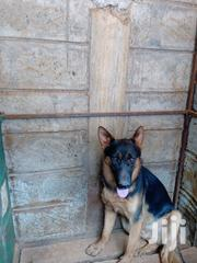 Young Male Purebred German Shepherd Dog | Dogs & Puppies for sale in Mombasa, Ziwa La Ng'Ombe