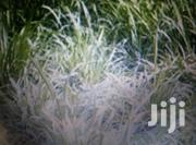 Sell Of Nappier Grass | Feeds, Supplements & Seeds for sale in Bungoma, West Sang'Alo