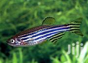 Zebra Danio | Fish for sale in Nairobi, Karen