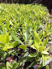 Mugendi Fruit Seedlings All Varriety | Garden for sale in Embu, Mbeti North