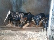 Baby Female Purebred German Shepherd Dog | Dogs & Puppies for sale in Nakuru, Nakuru East