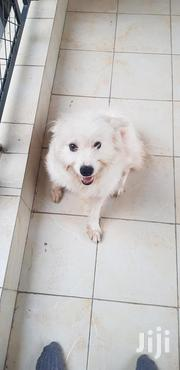 Young Male Mixed Breed Maltese | Dogs & Puppies for sale in Kajiado, Kitengela