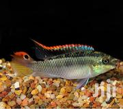 Krib Fish Very Active Cichlid | Fish for sale in Nairobi, Nairobi Central