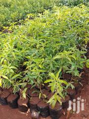 Kongoini Tree Nursery | Feeds, Supplements & Seeds for sale in Murang'a, Township G