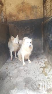 Young Male Purebred Japanese Spitz | Dogs & Puppies for sale in Nairobi, Mountain View