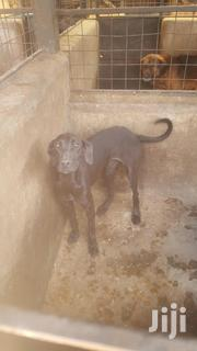 Young Female Purebred Great Dane | Dogs & Puppies for sale in Nairobi, Mountain View