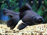 Black Moor | Fish for sale in Nairobi, Nairobi Central