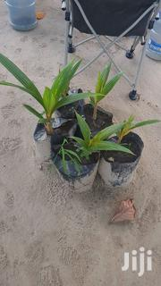 Dwarf Coconut (Kitemle) Seedlings | Feeds, Supplements & Seeds for sale in Mombasa, Mkomani