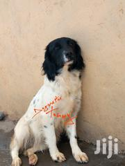 Adult Female Purebred | Dogs & Puppies for sale in Nakuru, Bahati