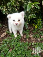 Young Female Purebred Japanese Spitz | Dogs & Puppies for sale in Kajiado, Ongata Rongai