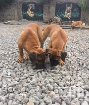 Boer Boel Puppies | Dogs & Puppies for sale in Kajiado, Ongata Rongai