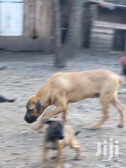 Young Male Purebred Boerboel | Dogs & Puppies for sale in Kajiado, Ngong