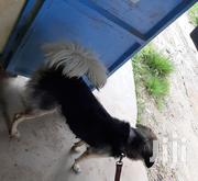 Young Female Mixed Breed | Dogs & Puppies for sale in Mombasa, Bamburi