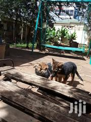 Young Female Purebred German Shepherd Dog | Dogs & Puppies for sale in Nairobi, Zimmerman