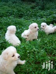 Young Male Purebred Pomeranian | Dogs & Puppies for sale in Nairobi, Kileleshwa