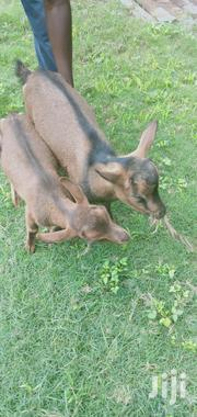 Togen Dairy Goats(Kids) | Other Animals for sale in Kajiado, Ongata Rongai