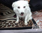 Young Male Mixed Breed Japanese Spitz | Dogs & Puppies for sale in Nairobi, Umoja II