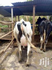 To Calfdown In 3wks Time | Livestock & Poultry for sale in Kiambu, Githunguri