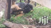 Young Female Purebred German Shepherd Dog | Dogs & Puppies for sale in Kiambu, Uthiru