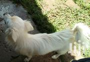 Adult Female Purebred Japanese Spitz | Dogs & Puppies for sale in Kajiado, Ngong