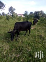 Beautiful Milk Cow | Livestock & Poultry for sale in Mombasa, Bamburi