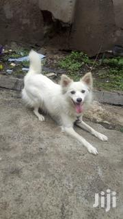 Adult Female Purebred Japanese Spitz | Dogs & Puppies for sale in Nairobi, Umoja II