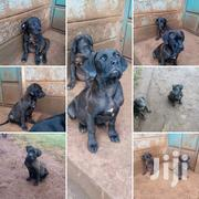 Young Male Purebred Boerboel | Dogs & Puppies for sale in Nairobi, Westlands
