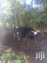Freshian Bull For Sale | Livestock & Poultry for sale in Kiambu, Gitaru