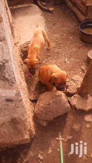 Baby Male Purebred Boerboel | Dogs & Puppies for sale in Nairobi, Karen